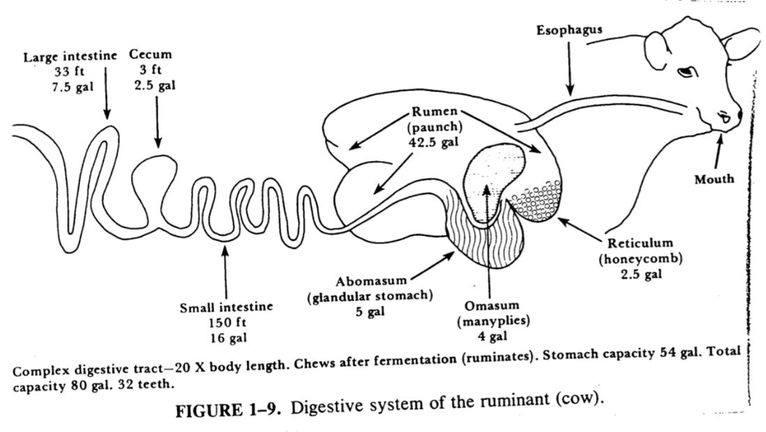 The Digestive System Of The Ruminant(cow)