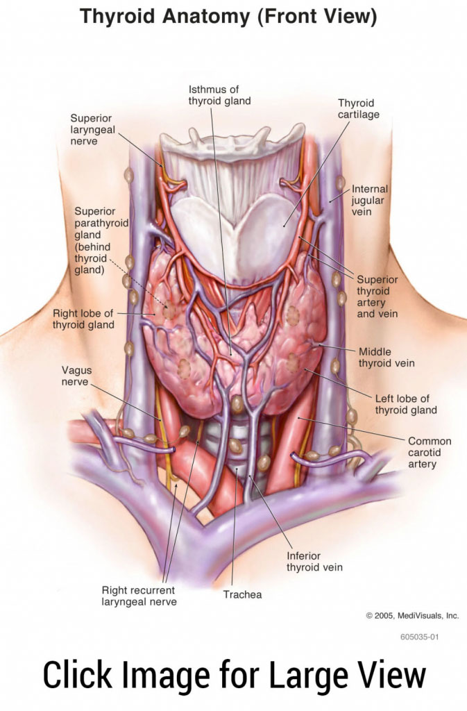 Thyroid Anatomy Front View In Detail
