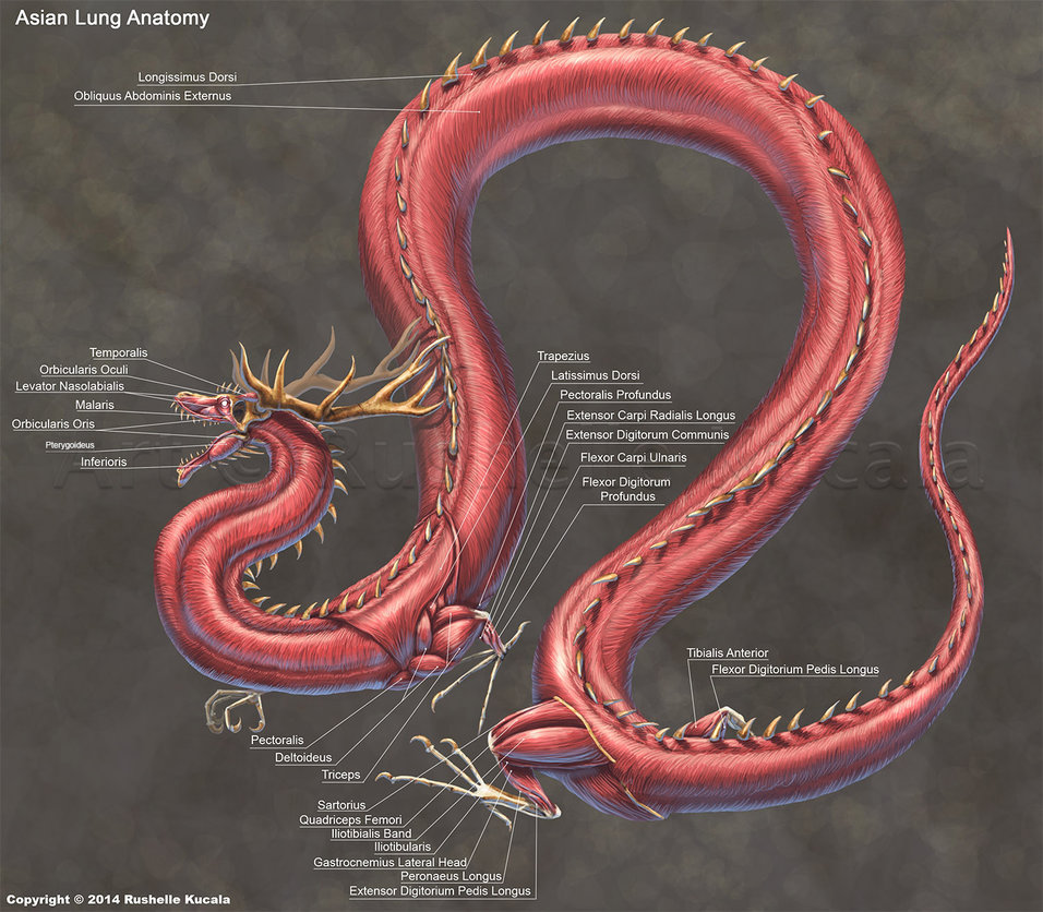Asian Lung Dragon Anatomy
