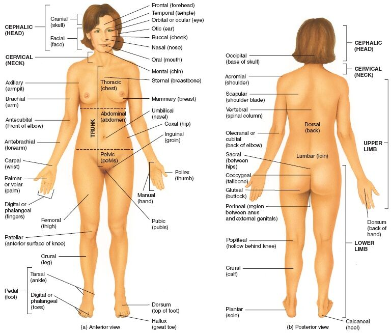 Female Body Anatomical Landmark Anterior View And Posterior View