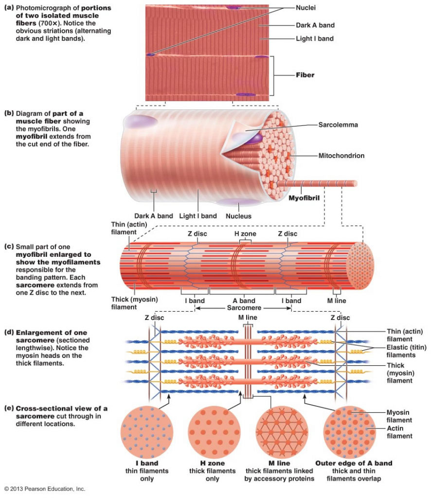 Muscle Fiber Anatomy In Detail