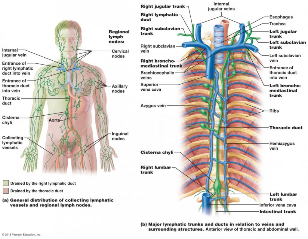 Major Lymphatic Trunk And Ducts In Relation To Veins And Surrounding Structure Anterior View Of The Thoracic And Abdominal Wall