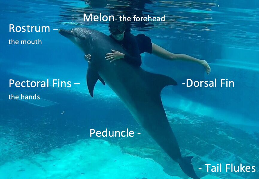 Dolphin Body Anatomy