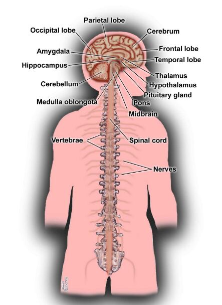 Central Nervous System And Brain Anatomy