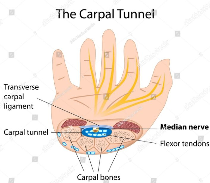 Carpal Tunnel Gross Anatomy
