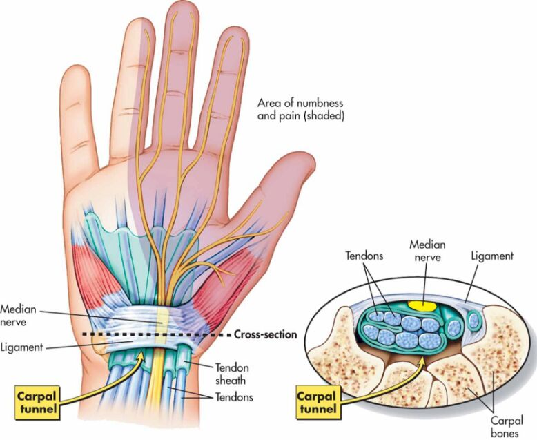Carpal Tunnel And Wrist Anatomy In Detail
