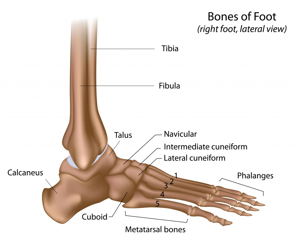 Bones Of Foot Tarsal Bone Anatomy