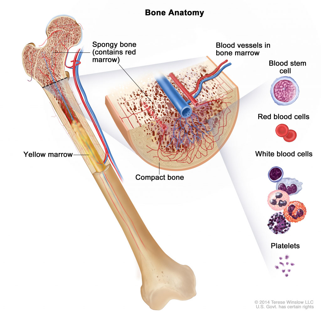 Bone Anatomy In Detail
