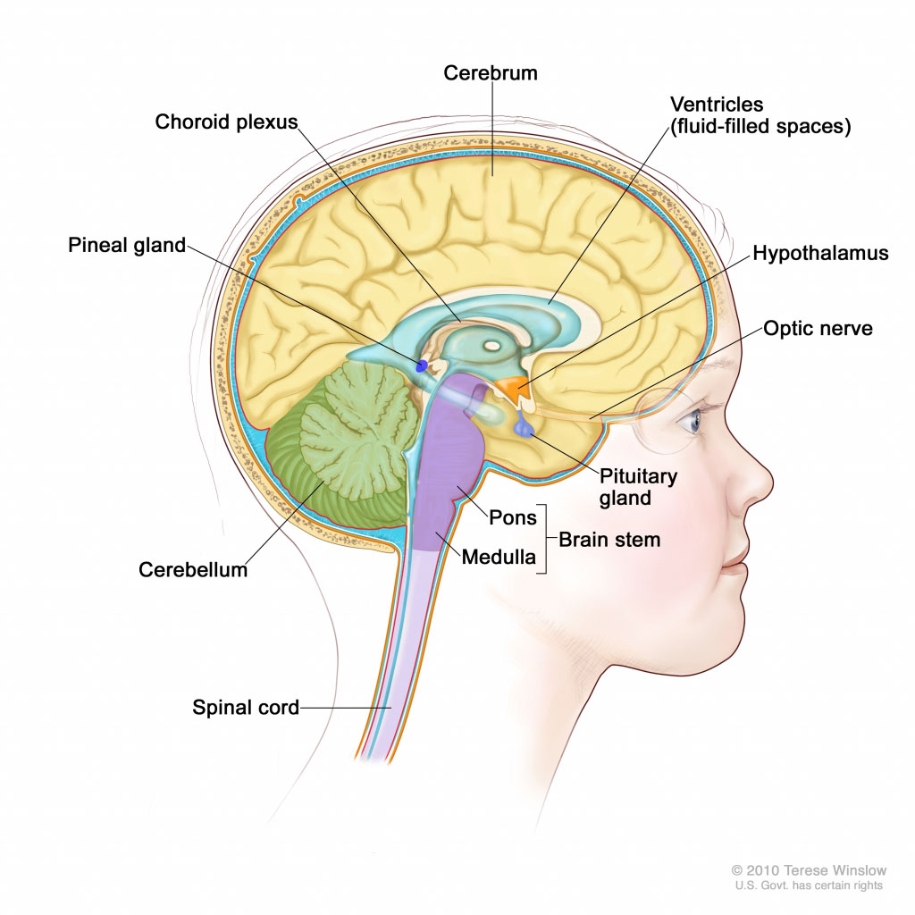Brain Anatomy Lateral View And Spinal Cord Anatomy