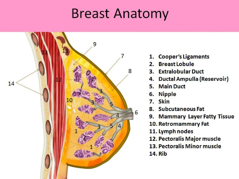 Breast Anatomy Lateral View
