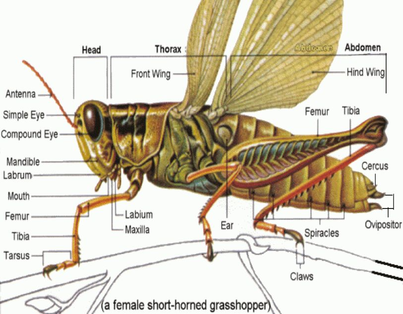Grasshopper External Anatomy In Detail
