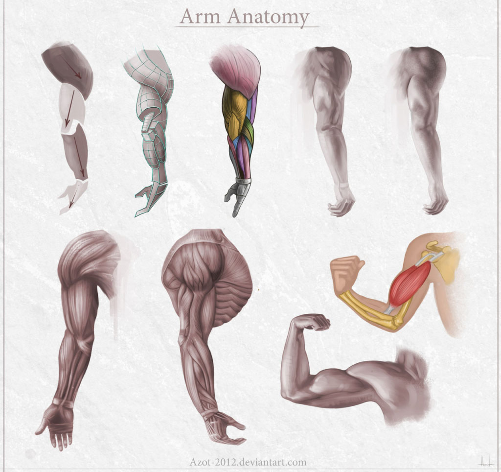 Arm Anatomy Gross View