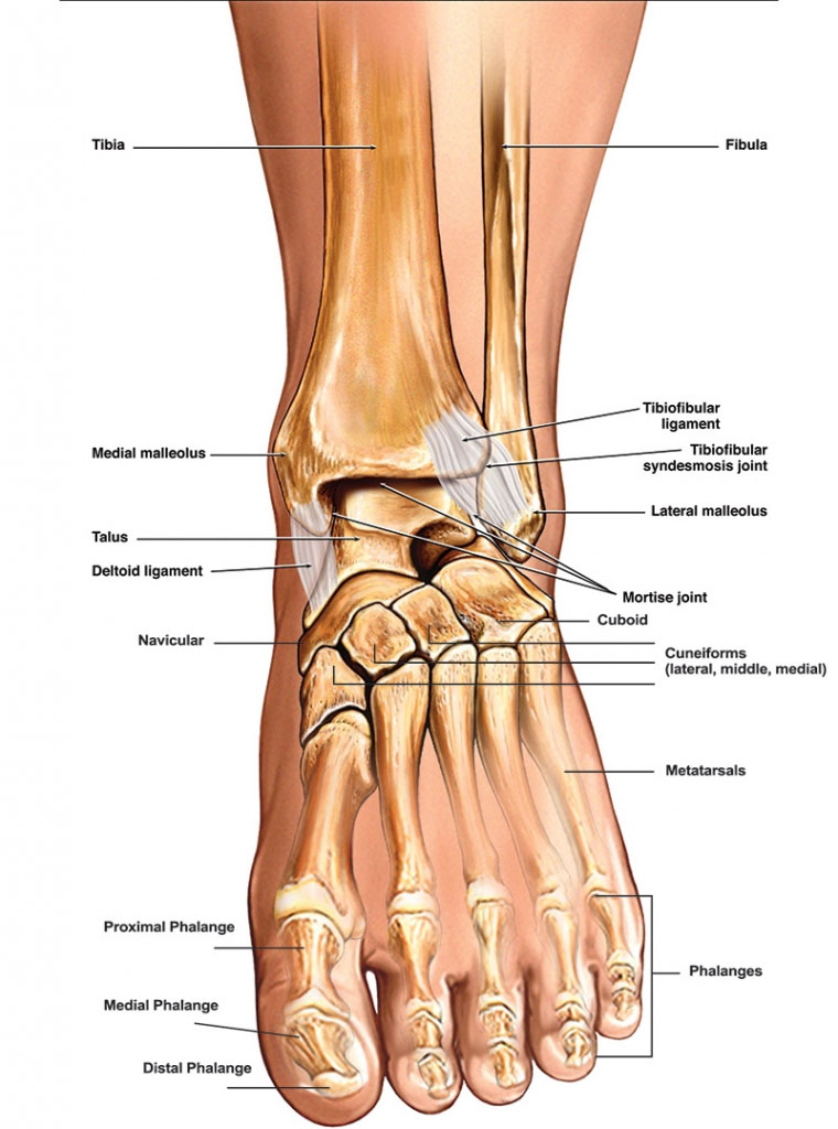 Anatomy Of Foot Ankle Anatomy Of Left Foot And Ankle Wiring Diagram