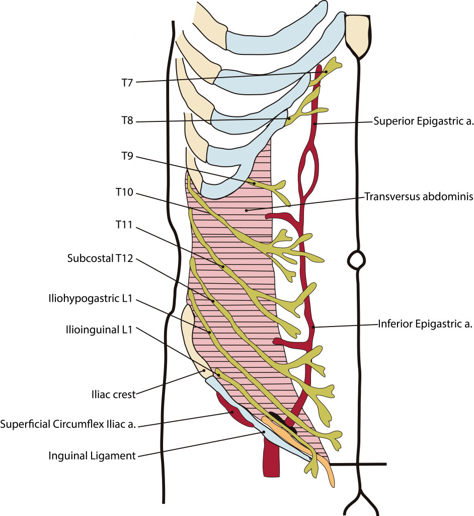 Anterior Abdominal Wall Nervous Innervation Diagram