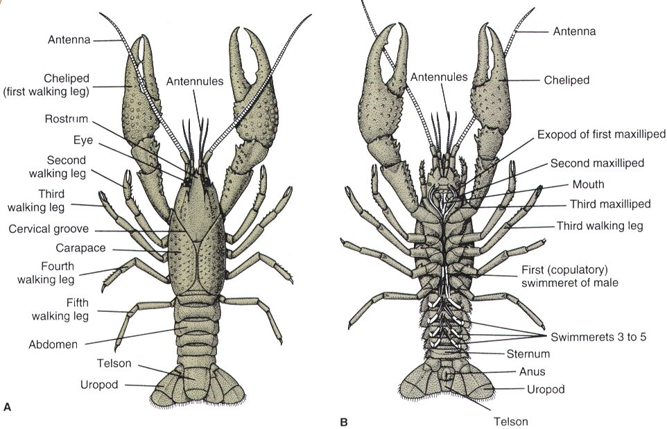 Crayfish Anatomy In Detail
