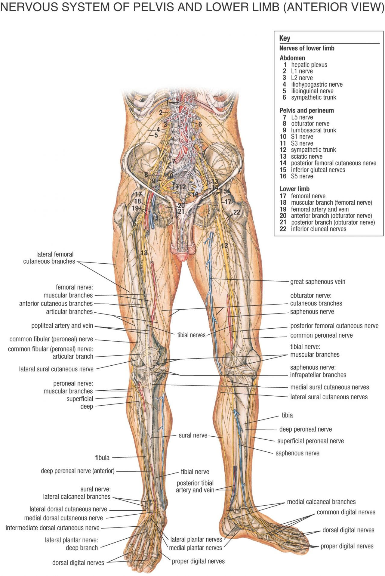 Pelvis And Lower Limb Nervous System In Detail