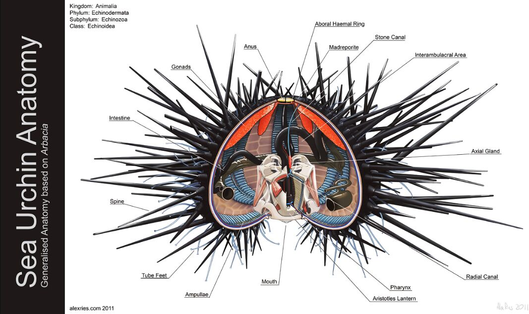 Sea Urchin Anatomy In Detail