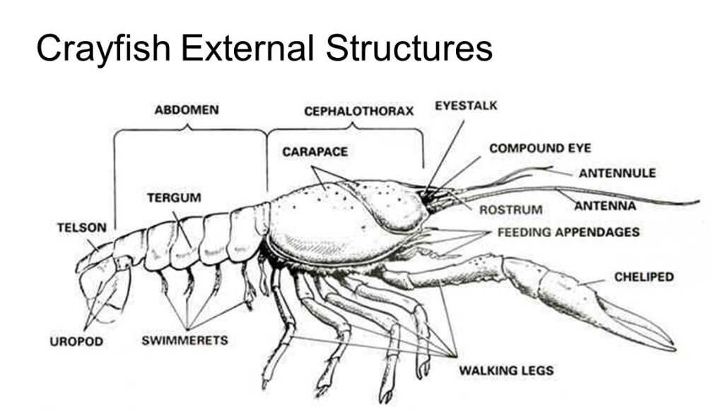 Crayfish External Structure Anatomy