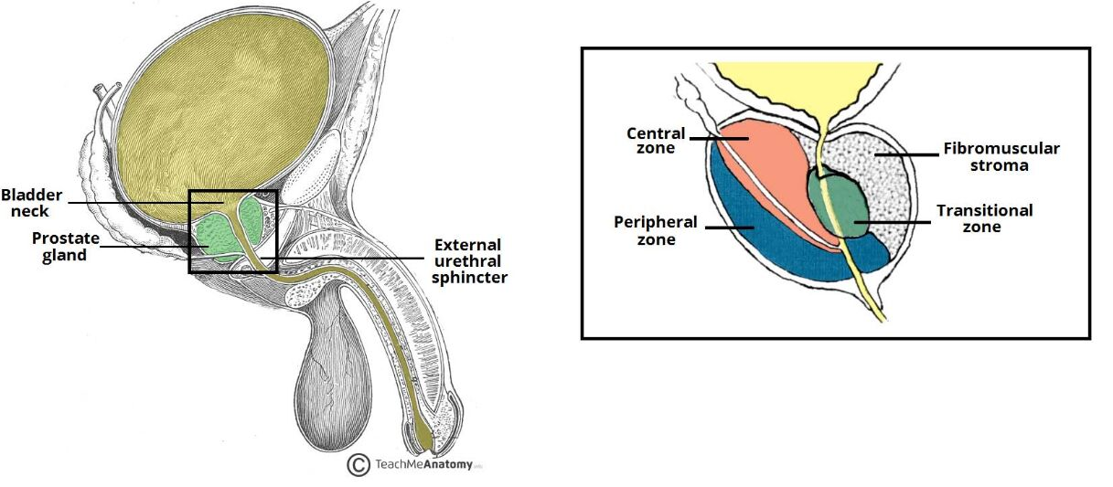 Prostate Anatomical Location And Compound