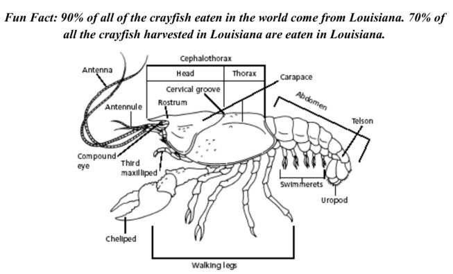 Crayfish Lateral View Anatomy