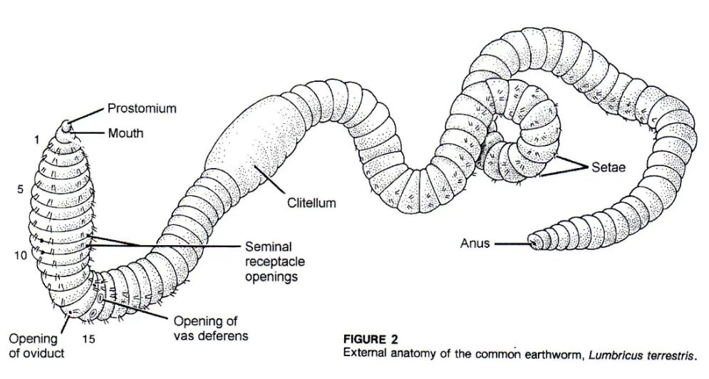 External View Of Common Earthworm
