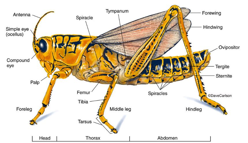 Grasshopper Anatomy In Detail