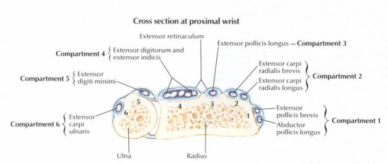Cross Section At Proximal Wrist