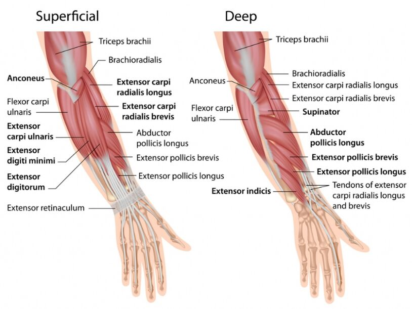 Muscles Of The Right Forearm Posterior Compartment