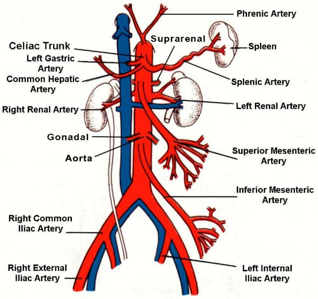 Aorta And Main Branches Anatomy