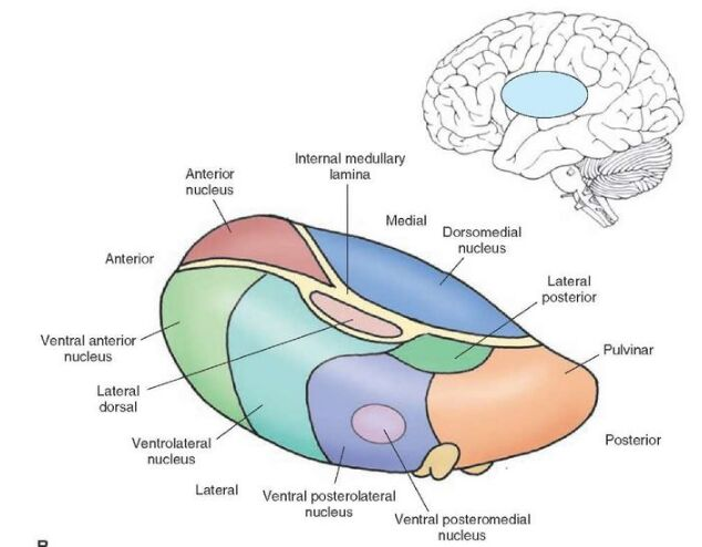 Brain Nucleus Anatomy