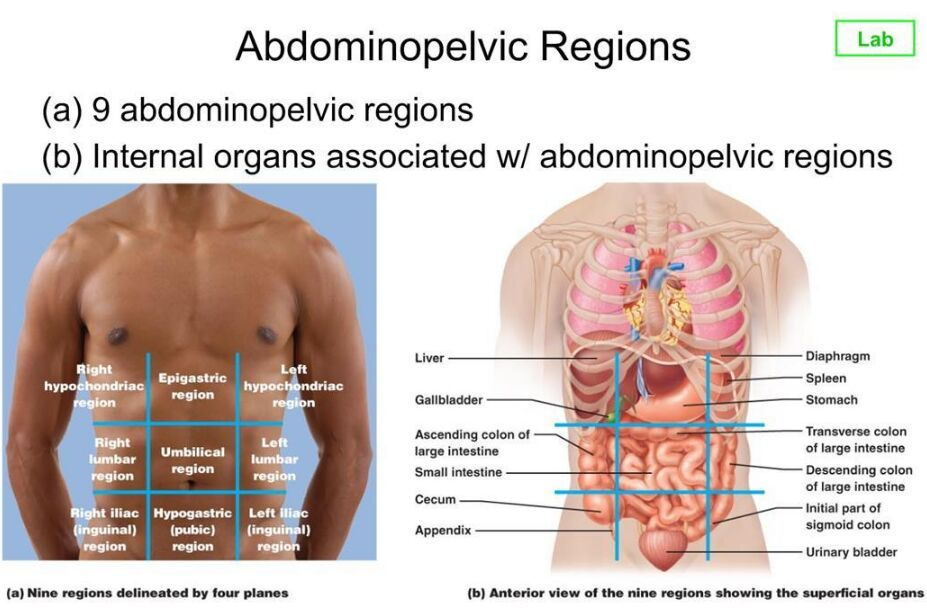 Abdominopelvic Region And Organ Location