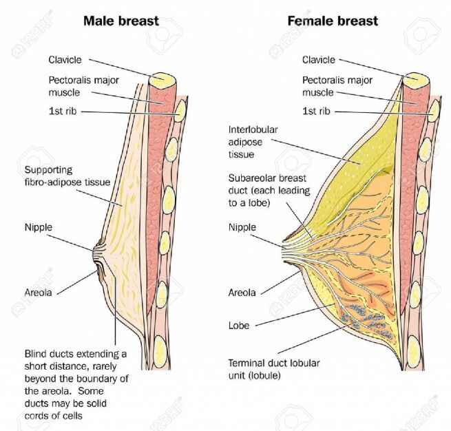 Male Breast Tissue And Female Breast Tissue Lateral View