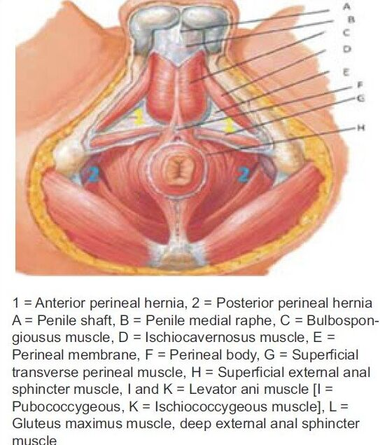 Male Pelvic Area Anatomical Structure