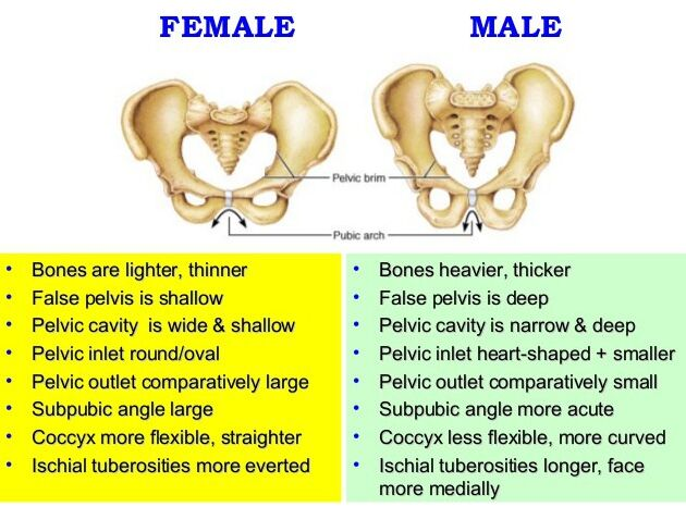 Male And Female Pelvis Skeleton Difference
