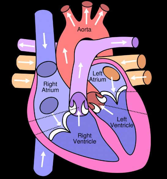 Heart Circulation Structure In Heart Chamber