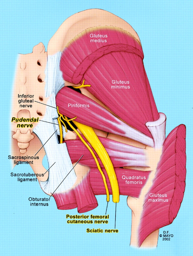 Buttocks Muscle Pudental Nerve Anatomical Structure