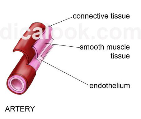 Artery Layer Anatomical Structure