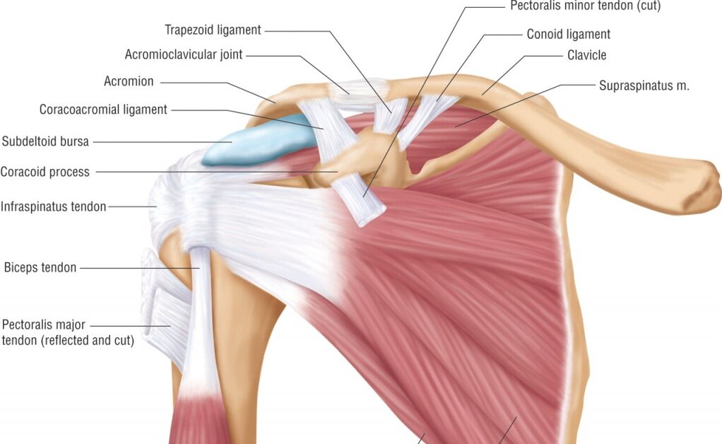 Shoulder Structure, Acromioclavicular Joint And Trapezoid Ligament Location