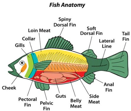 Fish Anatomy For Kid