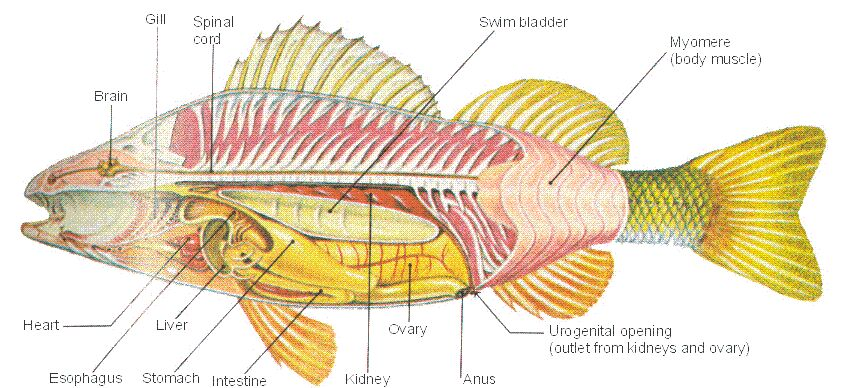 Perch Fish Internal Organ