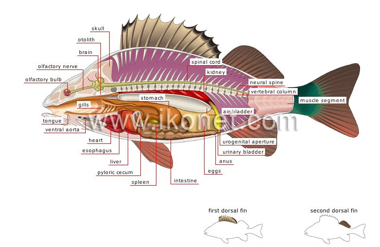 Fish Internal Organ Anatomy With First Dorsal Fin