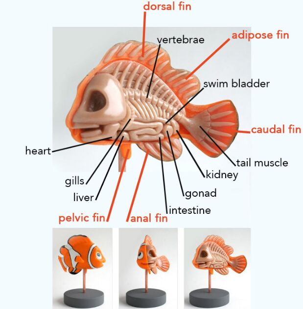 Clown Fish Anatomical Structure