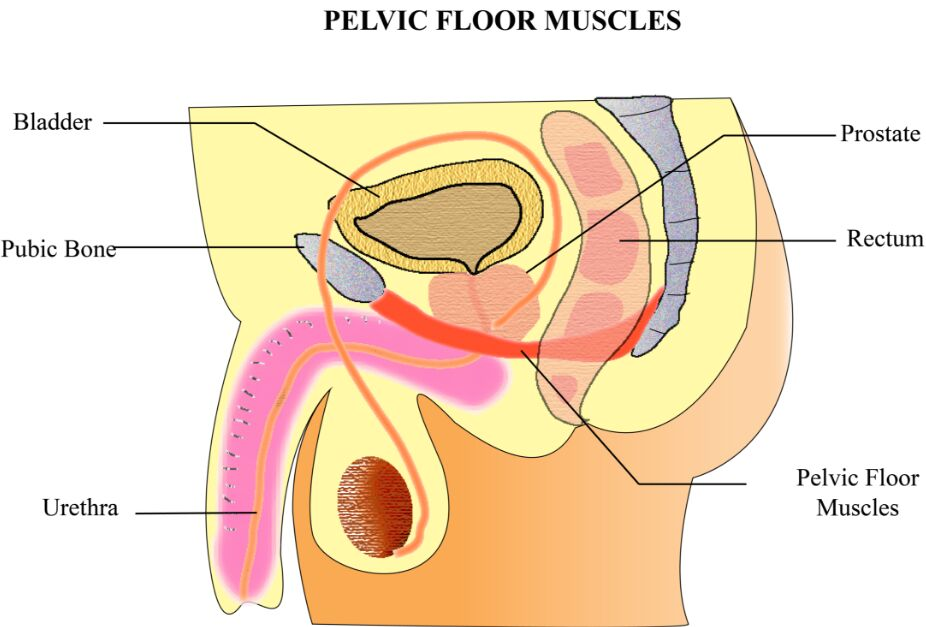 Pelvic Floor Muscles Gross Anatomy