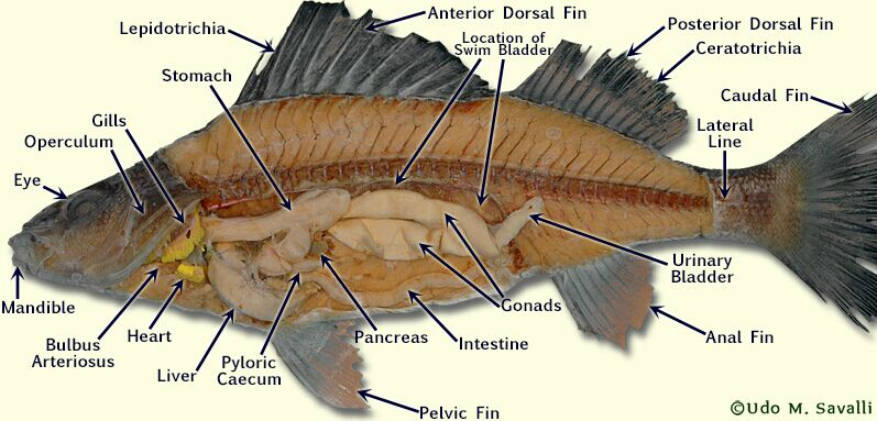 Fish Anatomy In Real Life