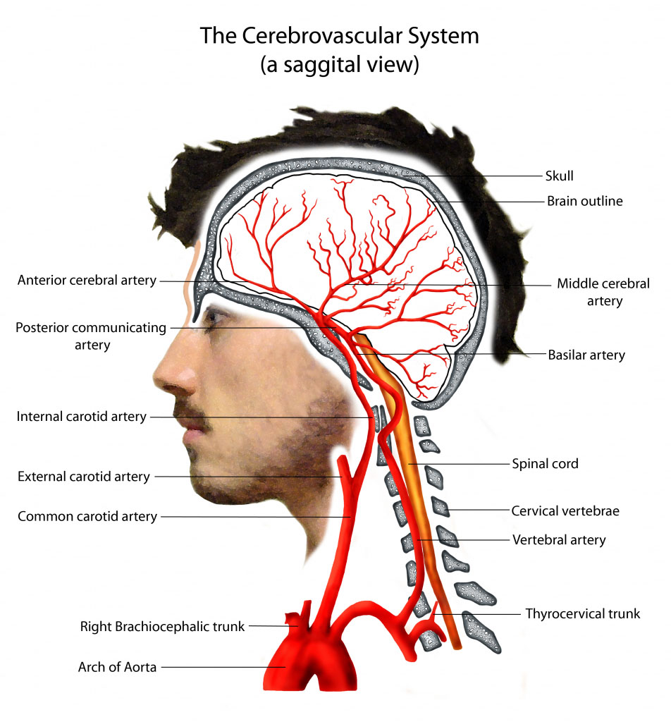 The Cerebrovascular System Sagittal View
