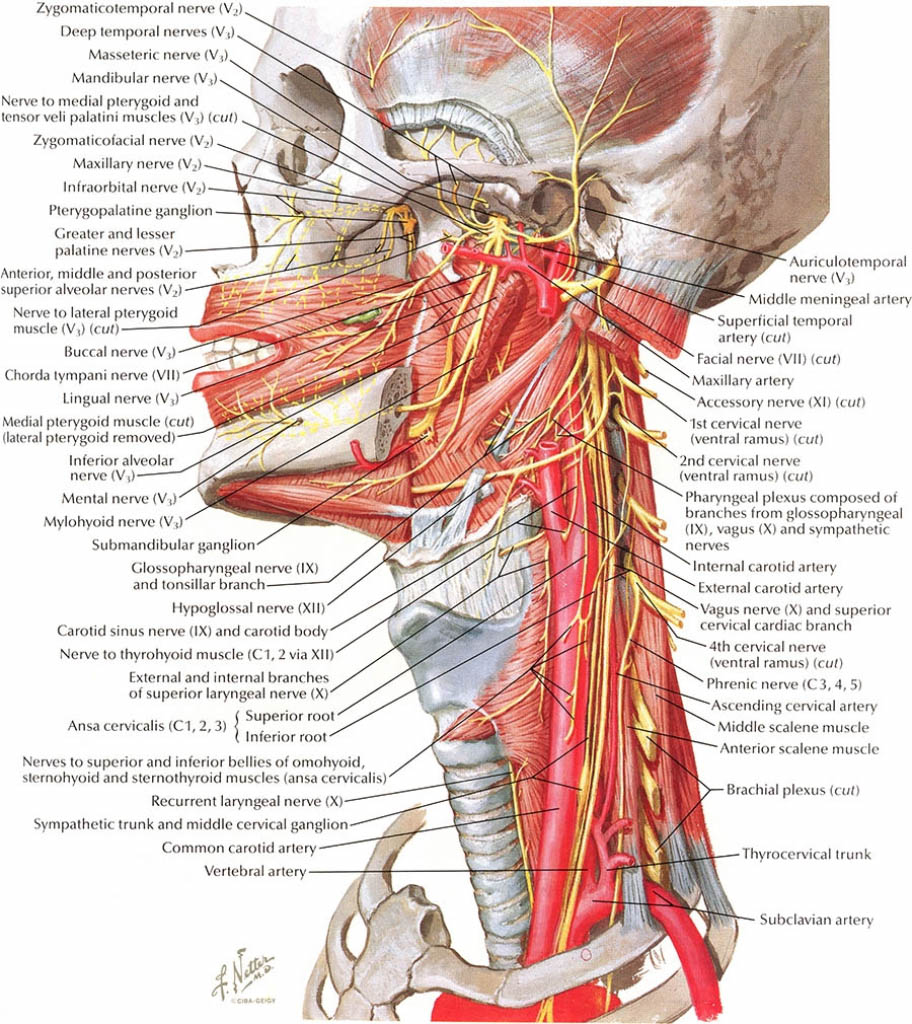 Head And Neck Nerves Innervation In Detail