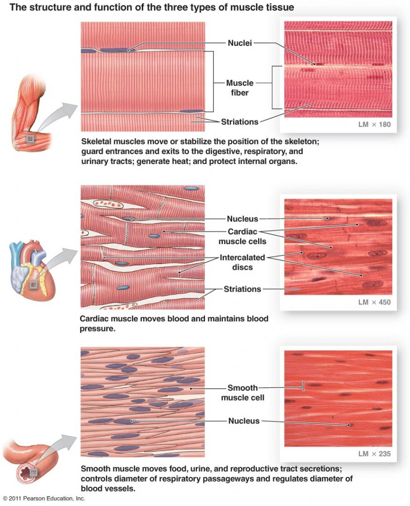 Three Type Of Muscle Tissue In The Human Body