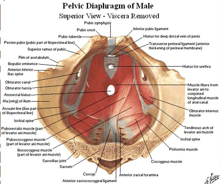 Pelvic Diaphragm Of Male Superior View