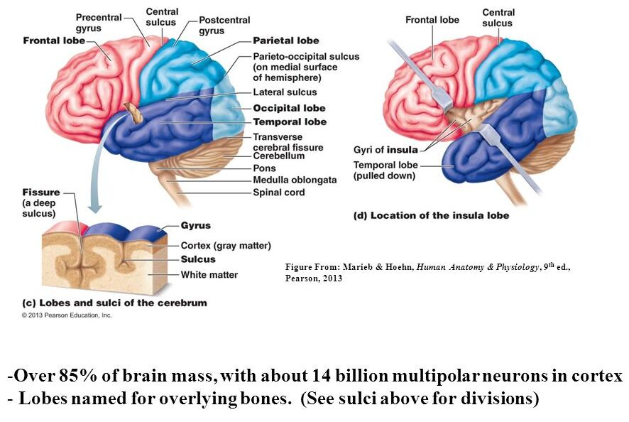 Overview Of The Cerebrum Of The Brain