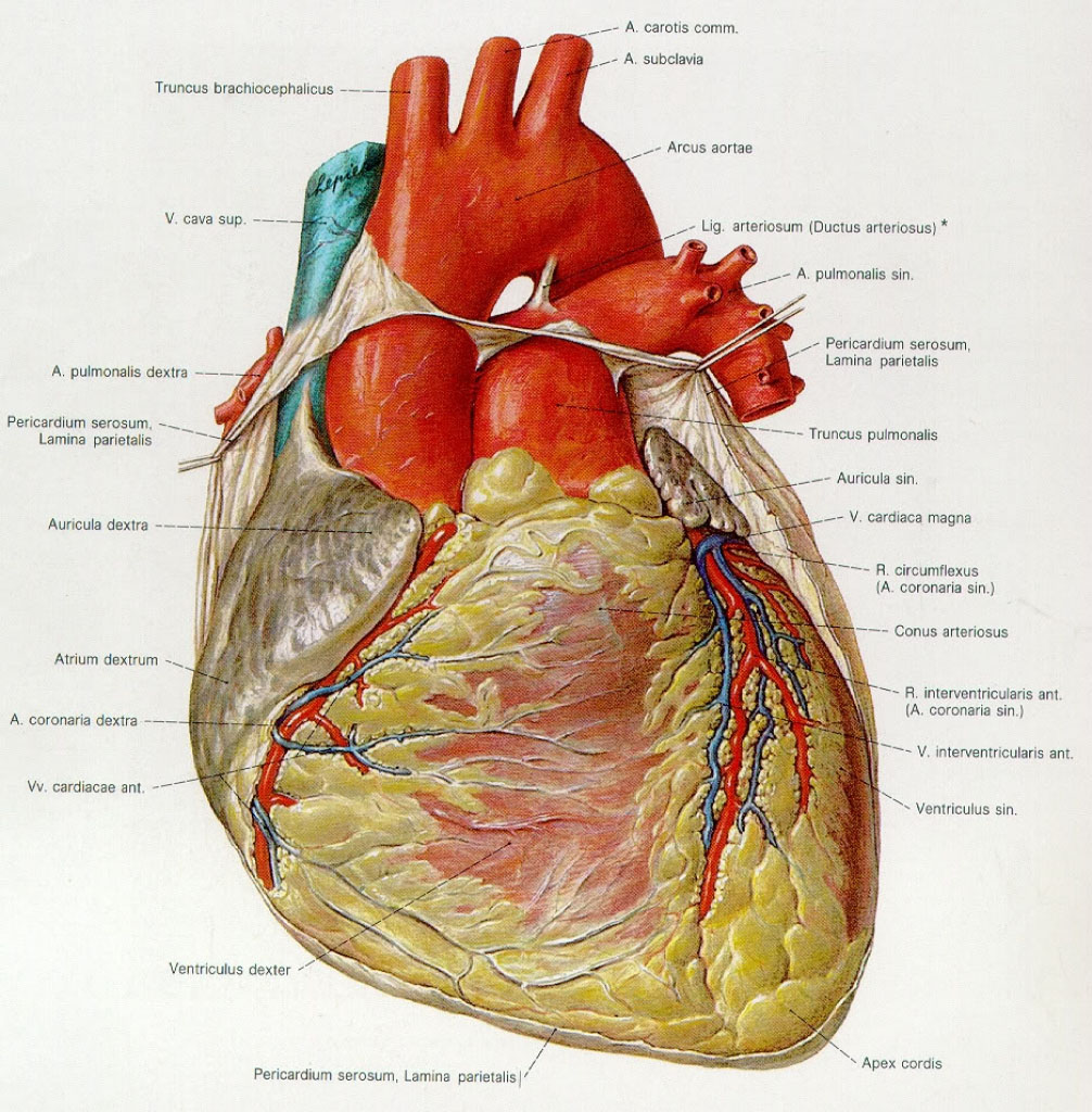Heart External Anterior View Anatomical Structure
